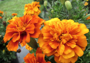 Marigold 'Fire Ball' Credit: Penn State Trial Gardens
