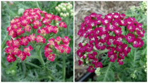 Yarrow New Vintage Red, left, and Violet Credit: Penn State Trial Gardens