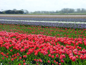 The main entrance to the 2017 Philadelphia Flower Show will feature a floral canopy aimed at capturing the glory of Dutch bulb fields like this one.