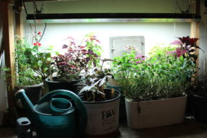 Overwintering tender plants are happily alive under my basement lights in February.