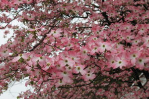 A pink dogwood, probably 'Cherokee Chief,' blooming in April.