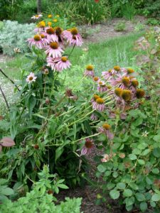 These coneflowers look like straitjacketed criminals after being tied up from flopping.