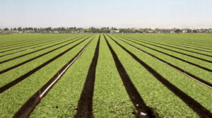 A field of spinach fans out in an ocean of green on a Salinas Valley farm.