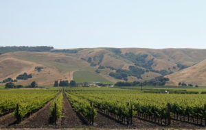 Grapes grow for miles on end in vineyards throughout central and northern California.