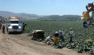 Workers are packing just-harvested broccoli right in the field.