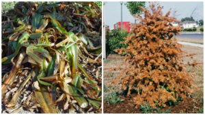 We kill plants at both ends of the spectrum -- freezing (left) and heat-baking (right).