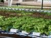 10hydroponic.lettuce2