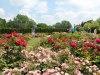 Cantigny.Park_.rose_.garden2