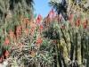 13Huntington.aloe.cactus