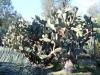 4Huntington.cactus.tree