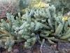 8ferocactus.gracilis