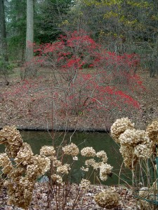 Berried shrubs and browned-out hydrangea blooms add interest to this winter garden.
