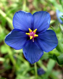 Closeup of anagallis flower.