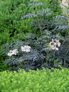 Elderberry 'Black Lace'