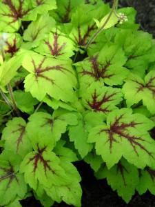 The leaves of foamybells 'Stoplight.'