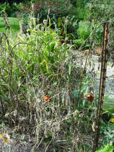 These would-be tomato plants are dead from disease by September.