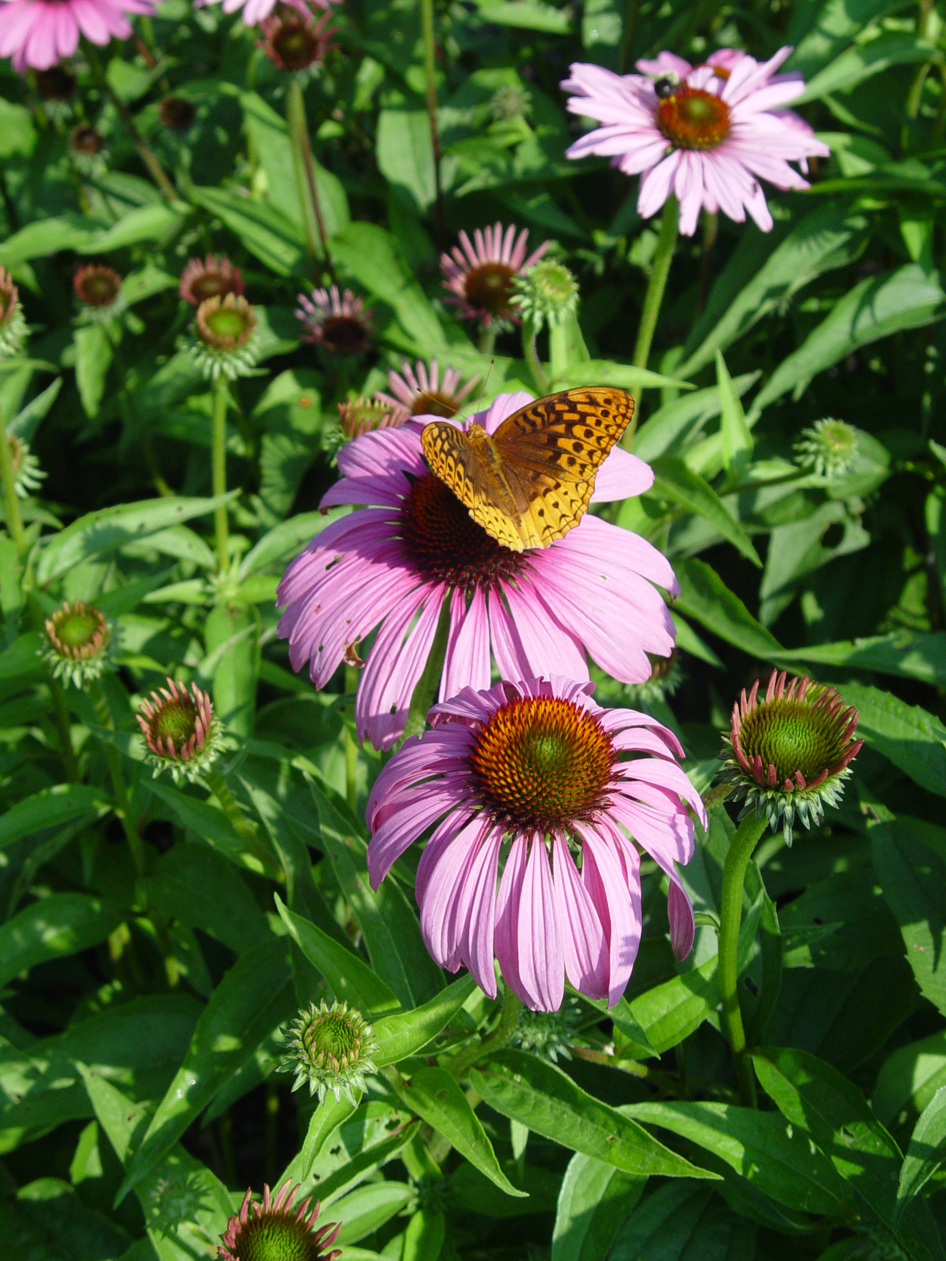 native pennsylvania plants coneflower fritillary central south garden butterfly feasting feed ll come them they georgeweigel