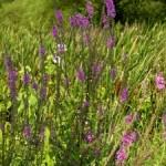 South-central Pennsylvania Native Plants
