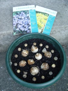 Bulbs placed in a pot, ready to be covered with more soil and then planted.