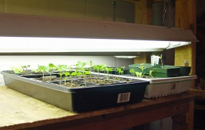 Seedlings growing under workshop lights.