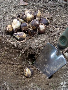 October is prime time for planting spring bulbs.