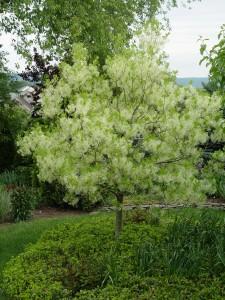 American fringetree in bloom.