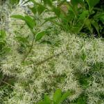 Closeup of fringetree flowers.
