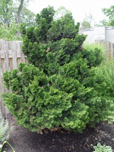 Dwarf Hinoki cypress 'Nana Gracilis' ... a virtual no-care plant.