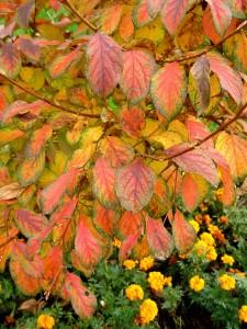 Fall foliage of Korean stewartia.