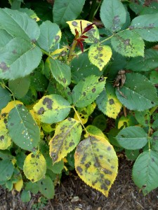 "The bane of hybrid tea roses -- a fungal disease called ""black spot."""