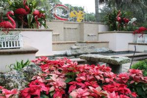 Poinsettias growing as a landscape plants at Florida Botanical Gardens.