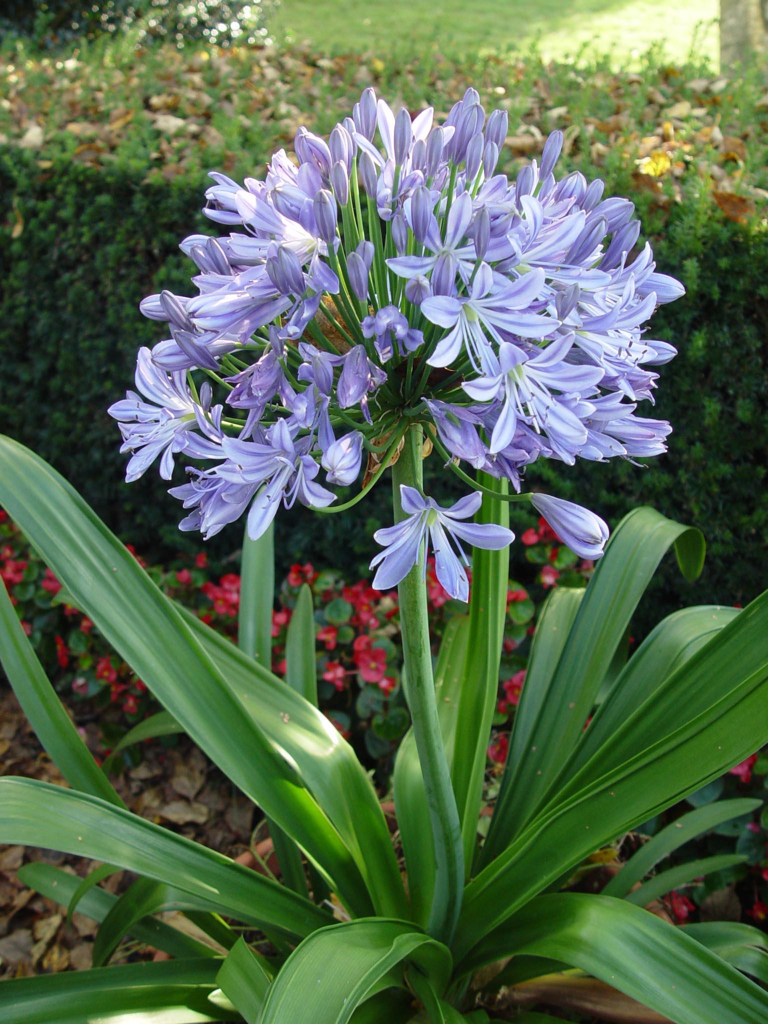 Garden Tips Agapanthus Garden Housecalls