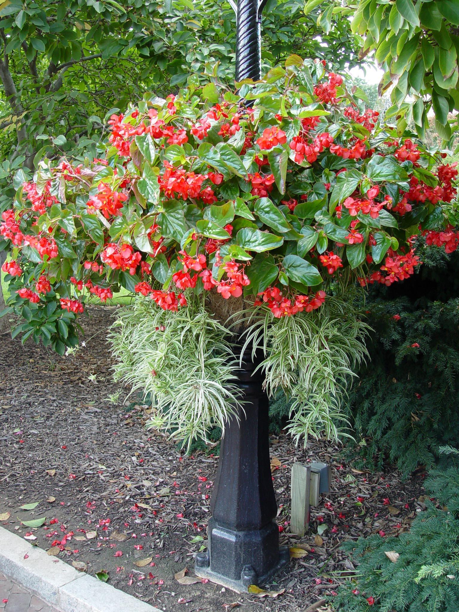 Begonia Dragon Wing Garden Housecalls