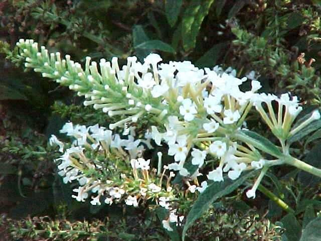 Butterfly bush white ball garden housecalls closeup of buddleia white ball flower mightylinksfo