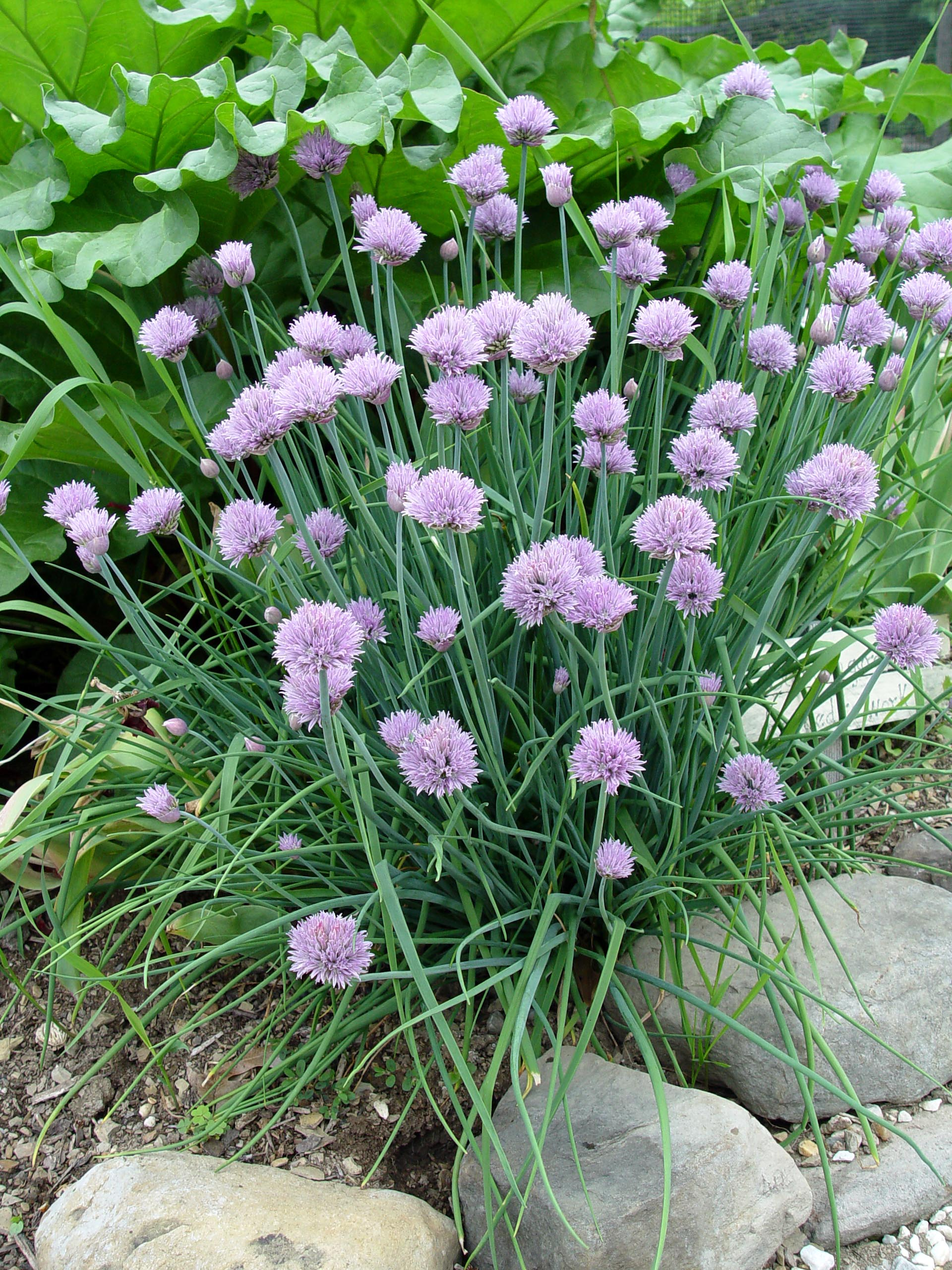 Garden Housecalls Chives