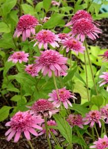 Coneflower pink double delight garden housecalls coneflower pink double delight mightylinksfo