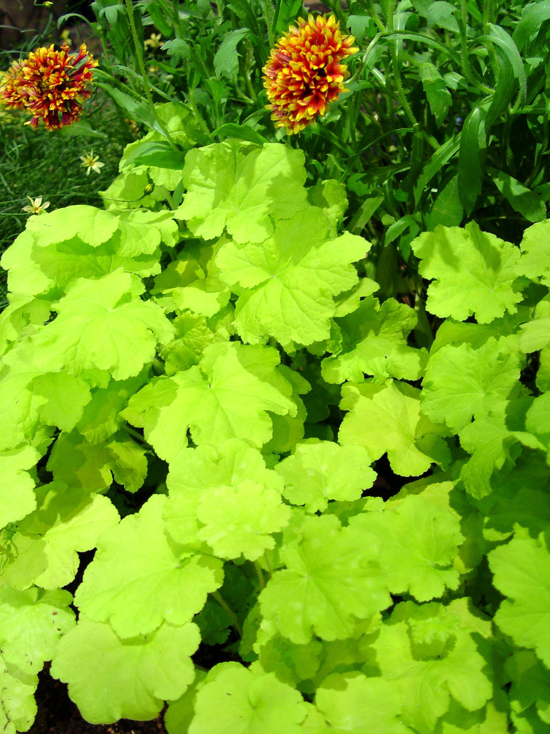 Garden Housecalls Coralbells Citronelle