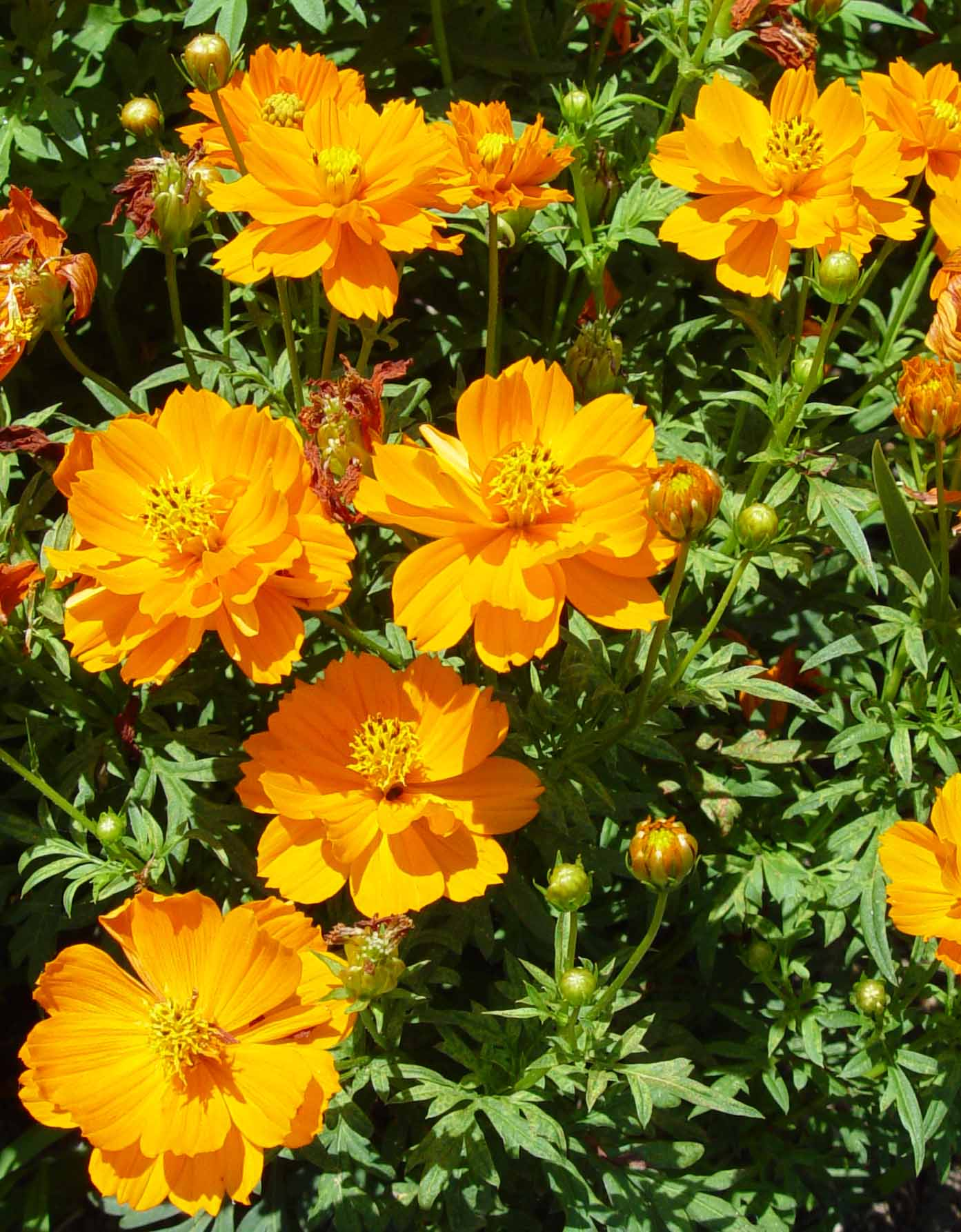 Cosmos Cosmic Orange Garden Housecalls
