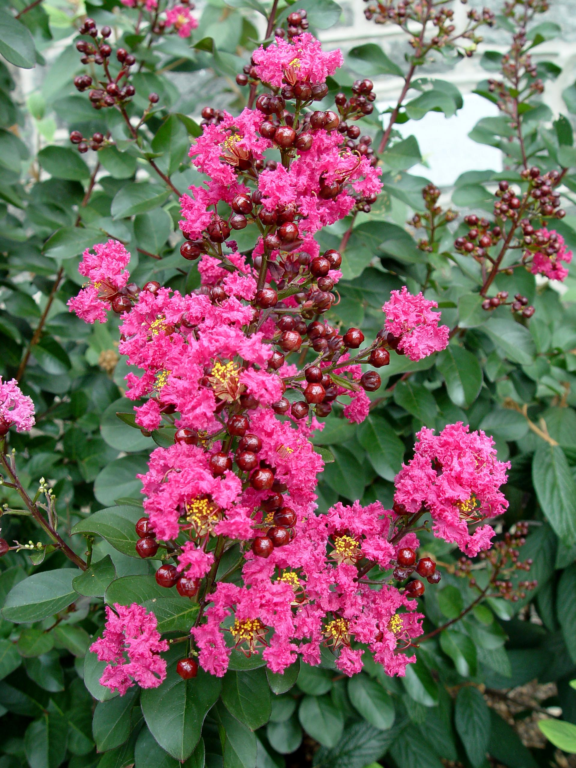 Crape myrtle pink velour garden housecalls for Tree with red flowers