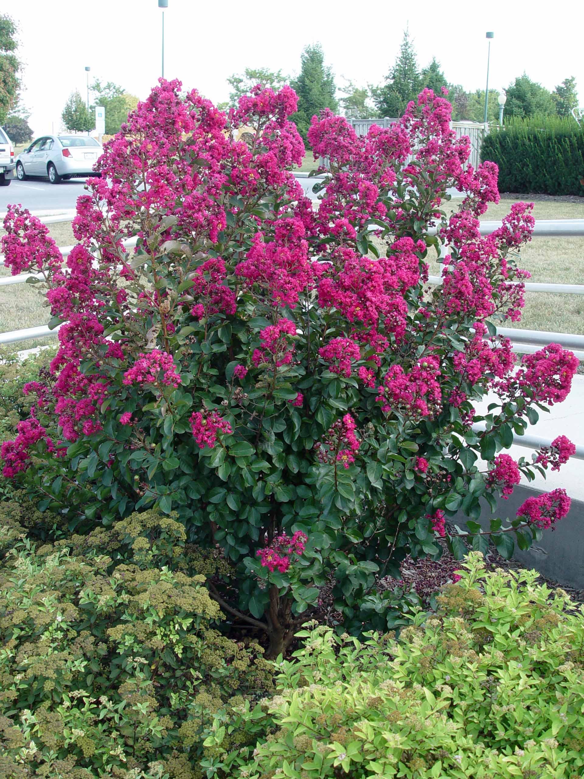 Crape myrtle \'Tonto\' | Garden Housecalls