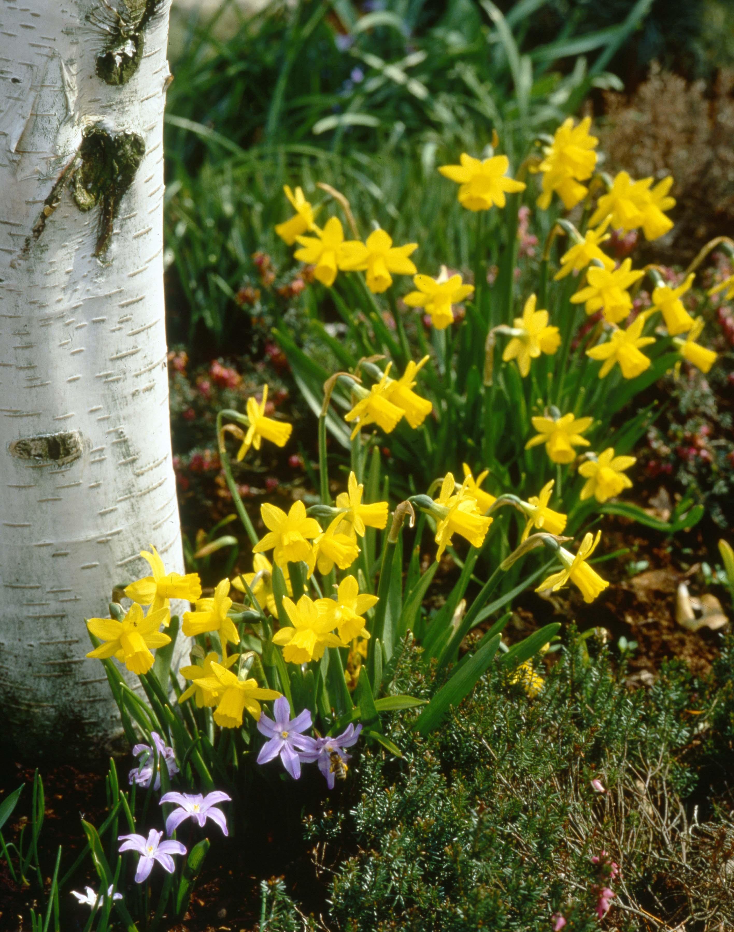 daffodil 39 tete 39 e tete 39 garden housecalls. Black Bedroom Furniture Sets. Home Design Ideas