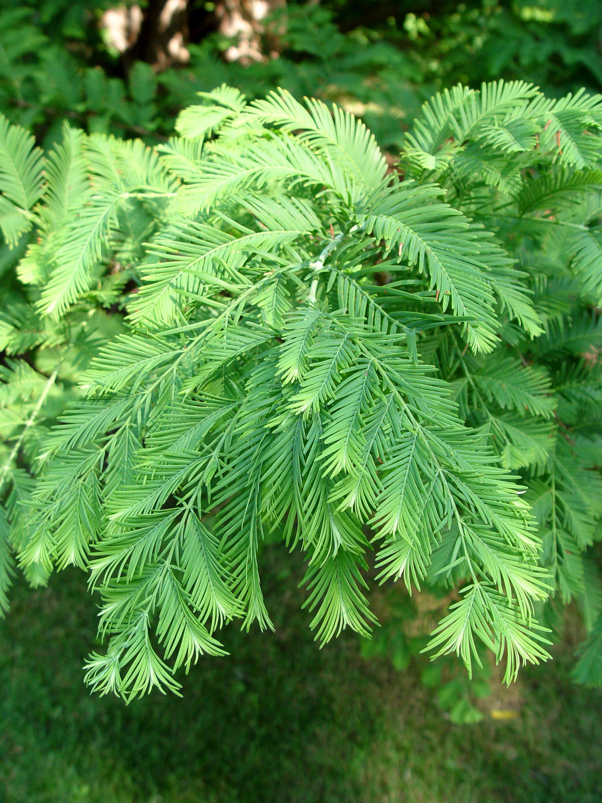 Ornamental Conifer