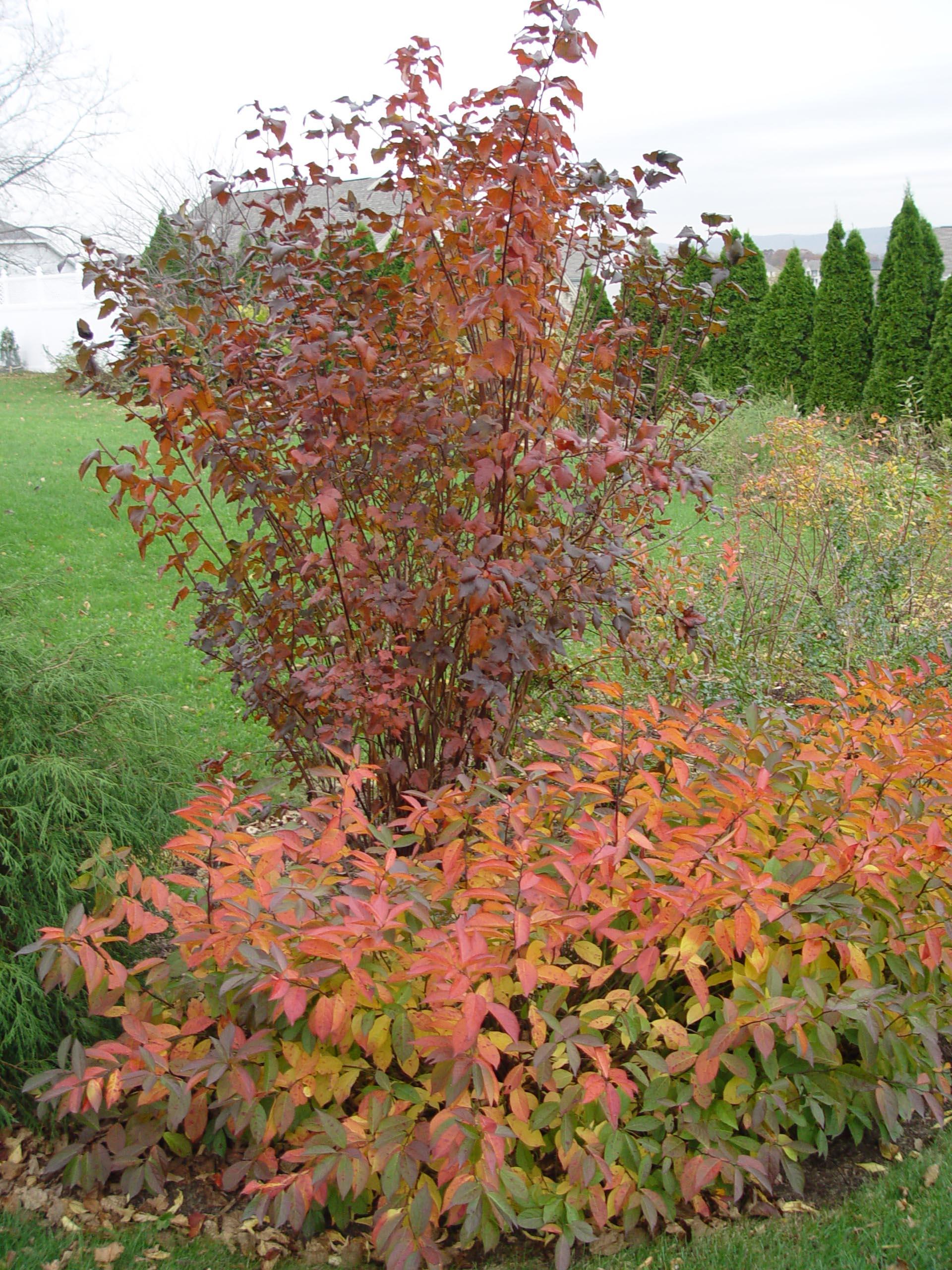 Ninebark diabolo garden housecalls for Garden shrubs