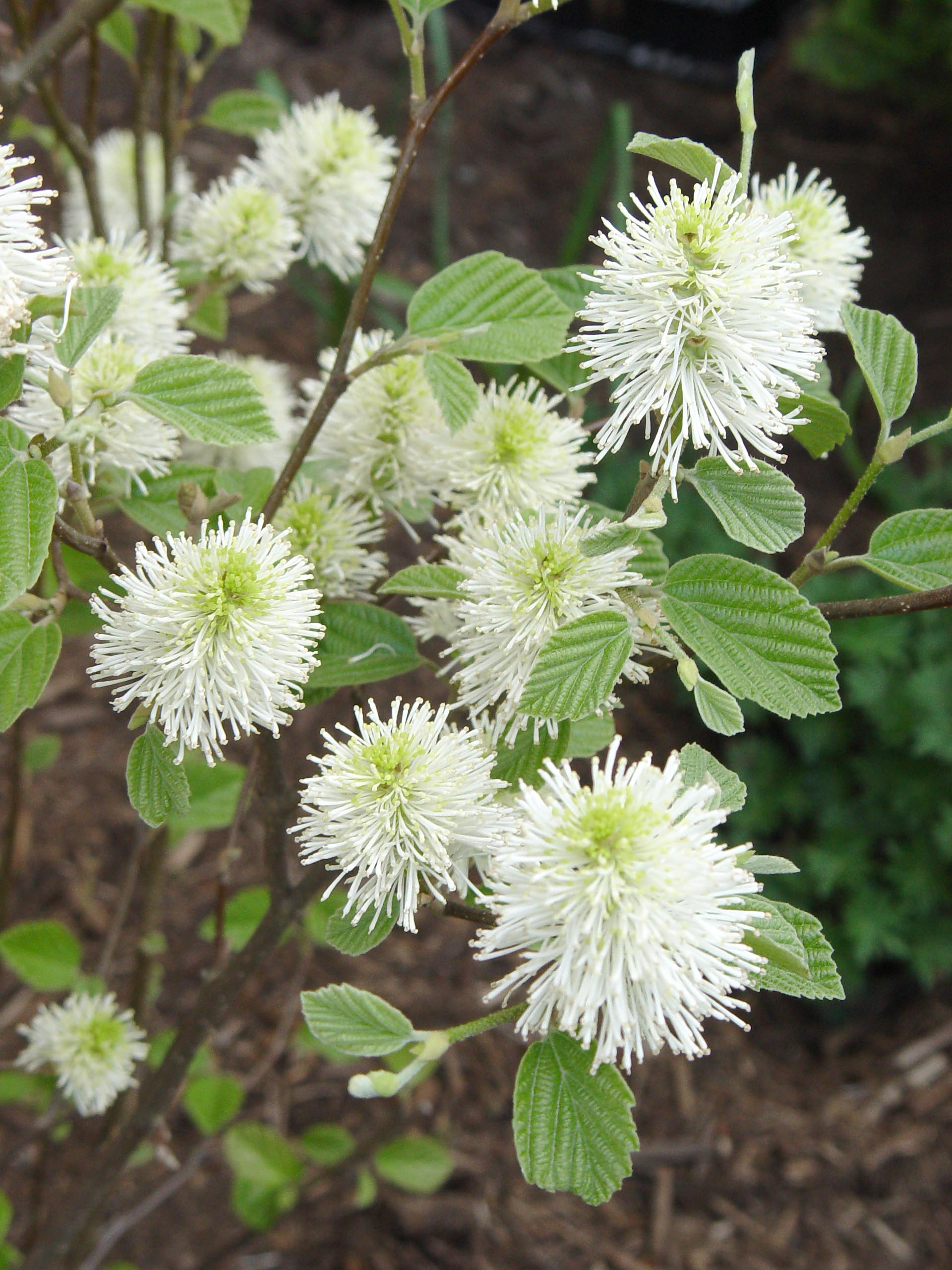 Fothergilla Mt Airy Garden Housecalls