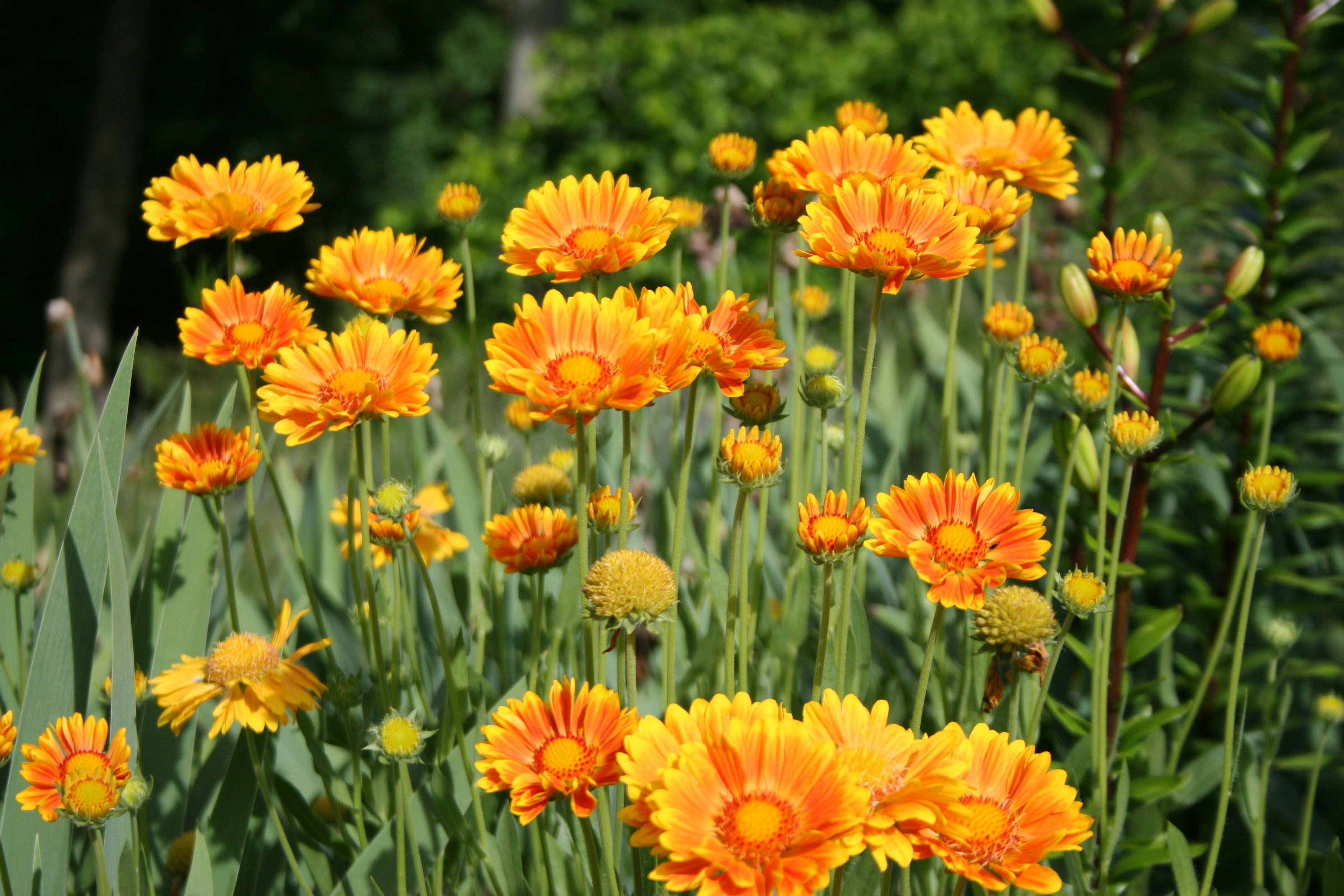 Gaillardia Oranges And Lemons Garden Housecalls