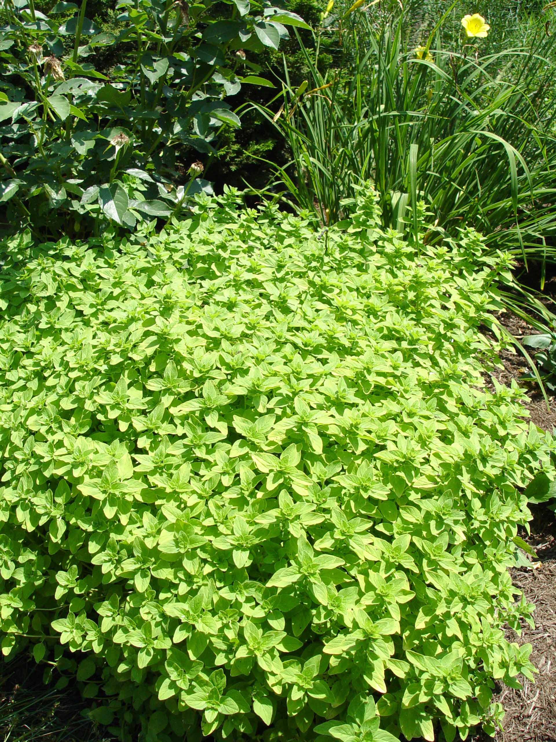 Garden Housecalls Golden Oregano