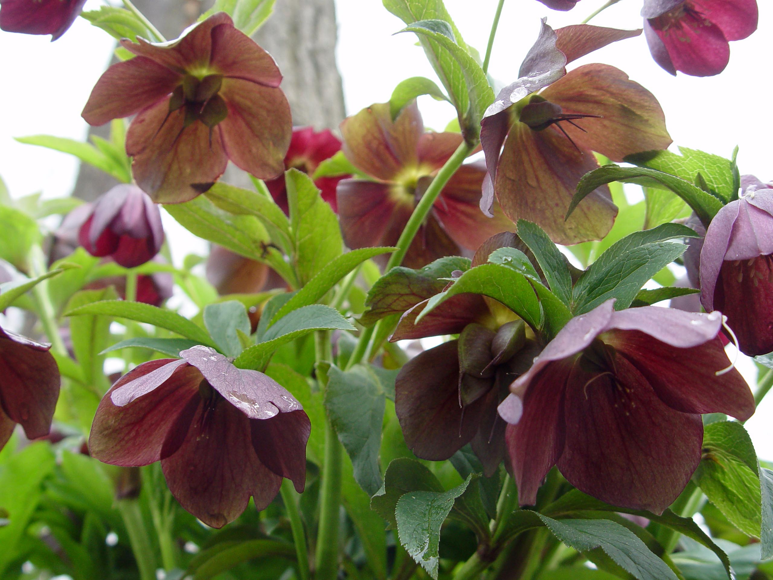 Lenten rose garden housecalls - When to plant roses ...