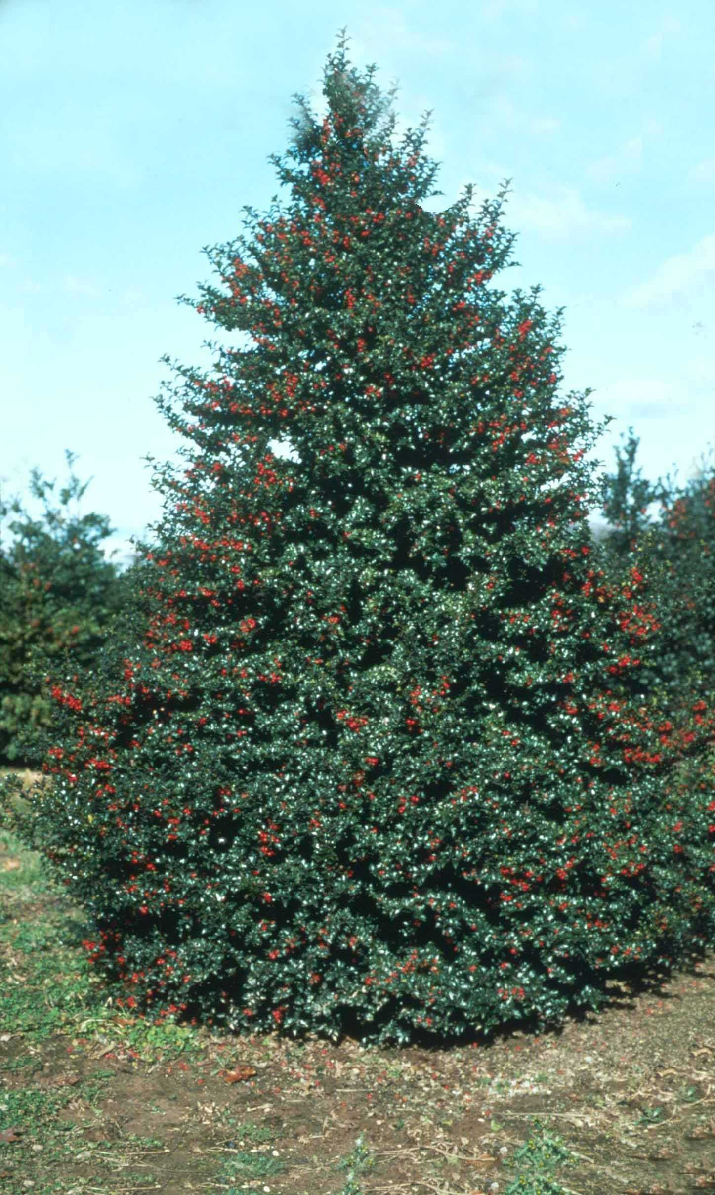 Garden Housecalls - Holly Red Beauty