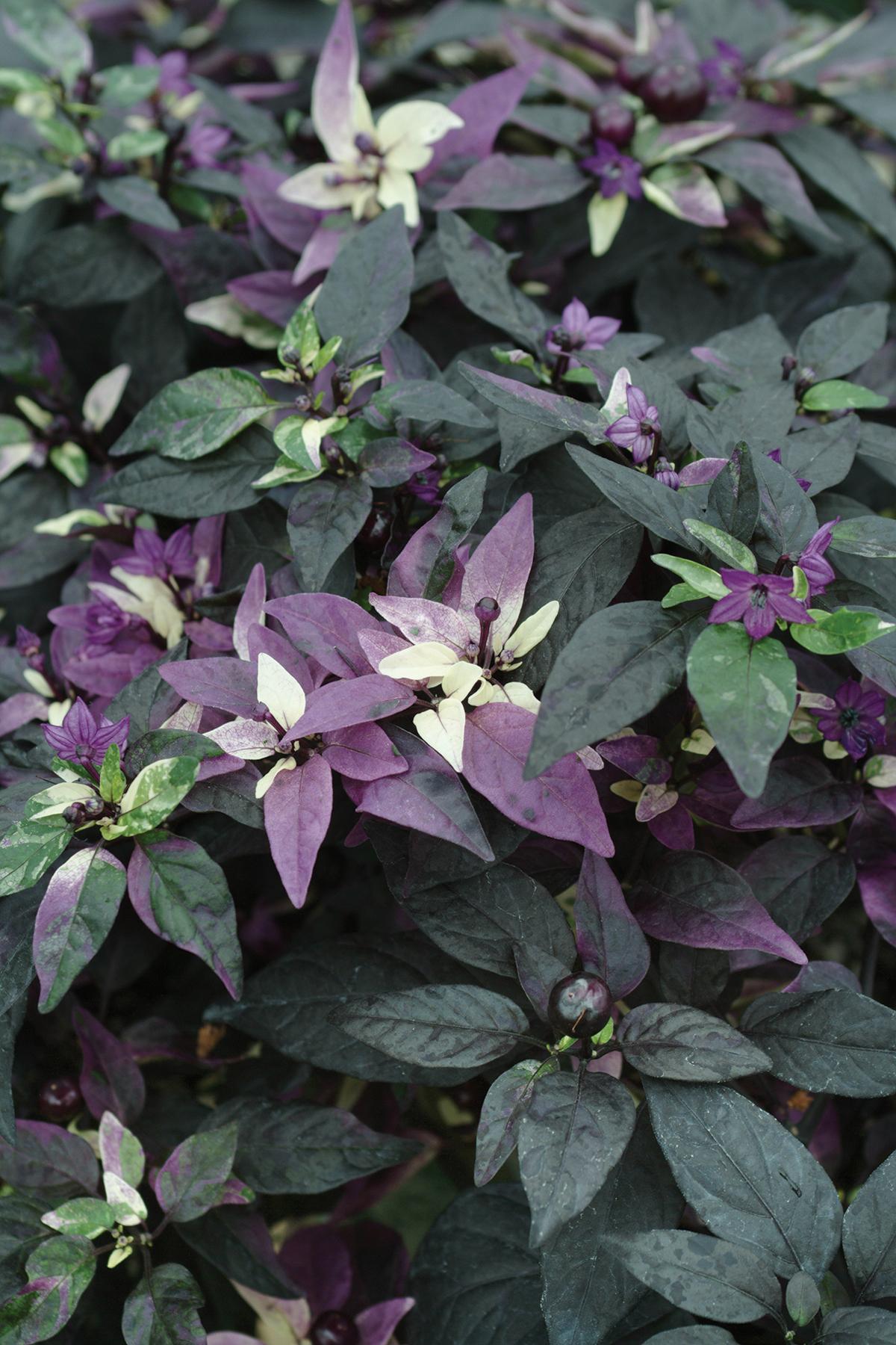 ornamental pepper  u0026 39 purple flash u0026 39