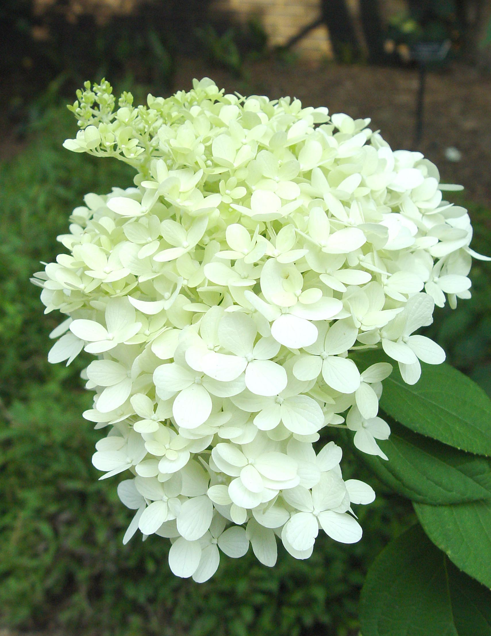 hydrangea 39 limelight 39 garden housecalls. Black Bedroom Furniture Sets. Home Design Ideas